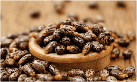 Castor Beans - 9 Deadly Foods You Have Been Hiding In Your Kitchen