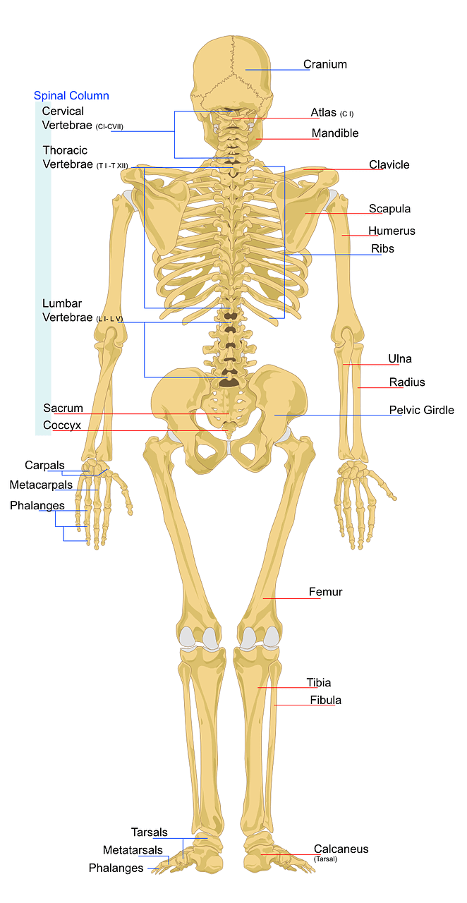 Skeleton - Common Arthritis Hurdles – When Daily Routine Becomes a Struggle