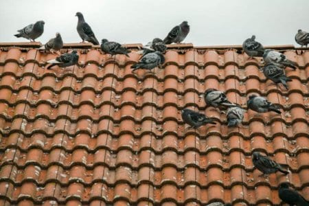 Pigeons-On-Roof