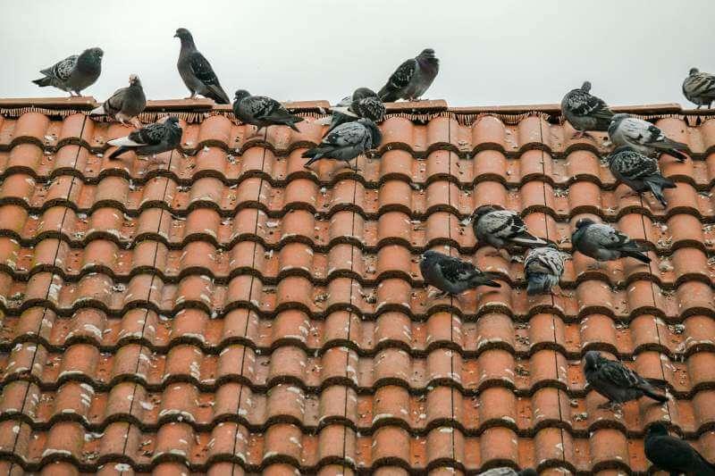 Pigeons-On-Roof