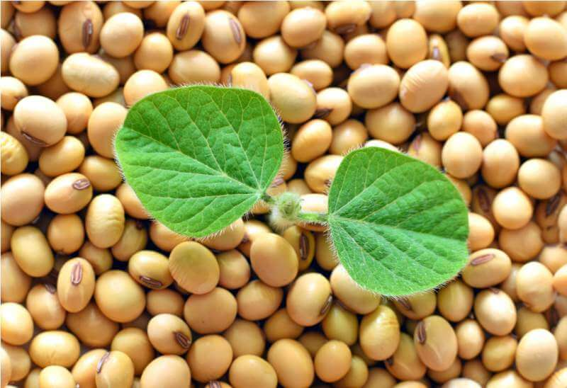 young-soy-plant-germinating-from-soy-seeds