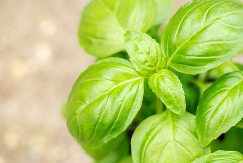 fresh-green-basil-leaves