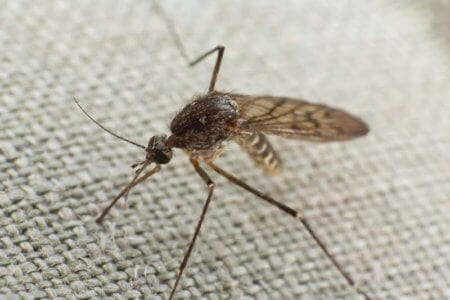 mosquitmosquito-trying-to-bite-through-clotho-trying-to-bite-through-cloth