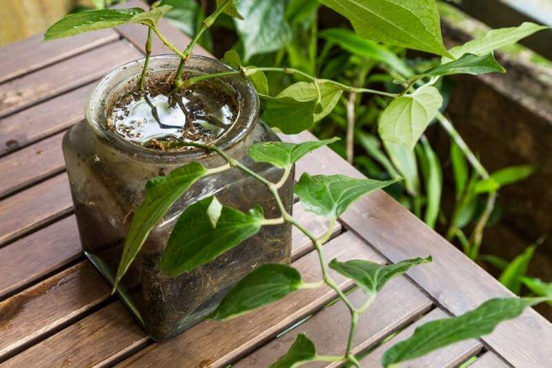 potted-vase-stores-stagnant-water-and-breeding