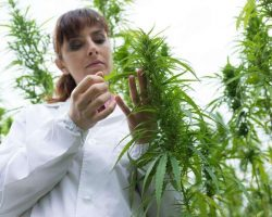 scientist-checking-hemp-flowers