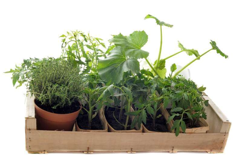 vegetables-seedling-in-a-crate