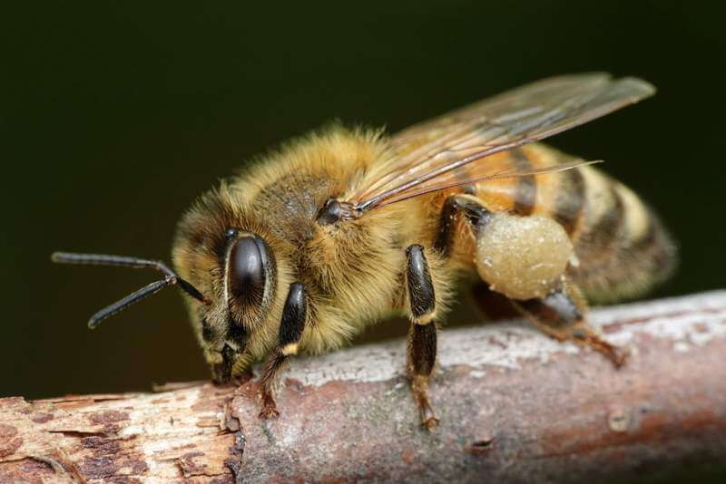 european-honey-bee-apis-mellifera