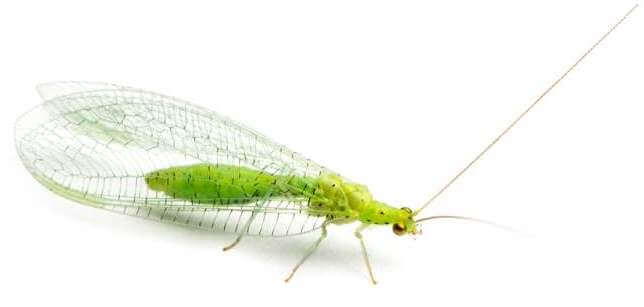 view-from-up-high-of-a-common-green-lacewing