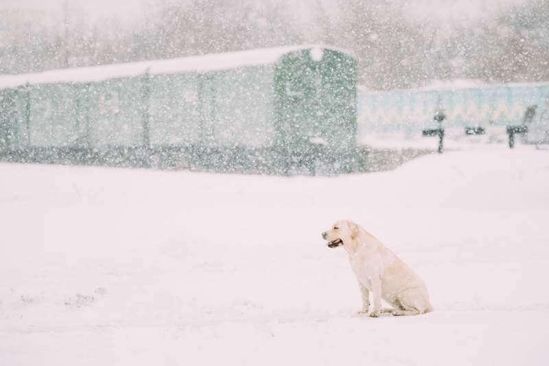 white-labrador-dog-sit-in-snow-winter-season