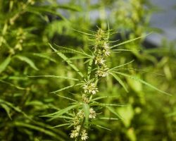 lush-fields-of-industrial-hemp-in-summer
