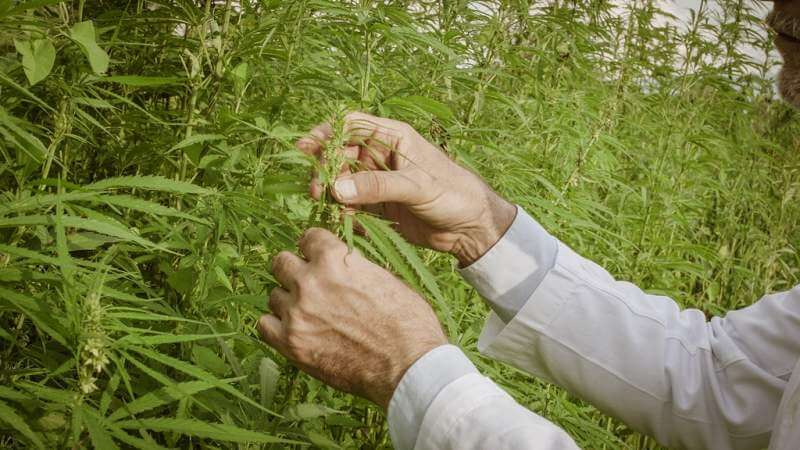scientist-checking-hemp-plants-in-the-field