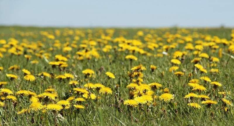 dandelion-meadow
